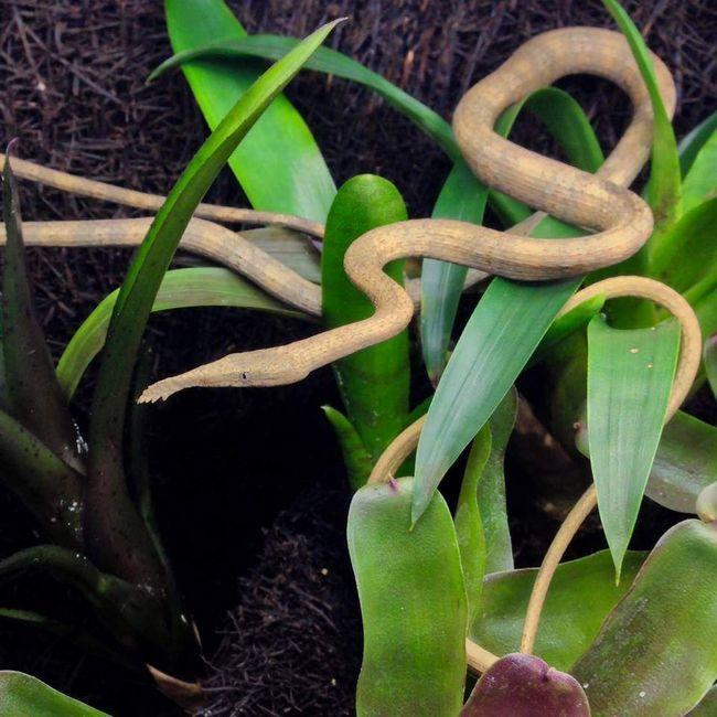 У тісну час доби силует змії, разом з носовою придатком, має обтічну форму і сильно схожий на виноградну лозу.