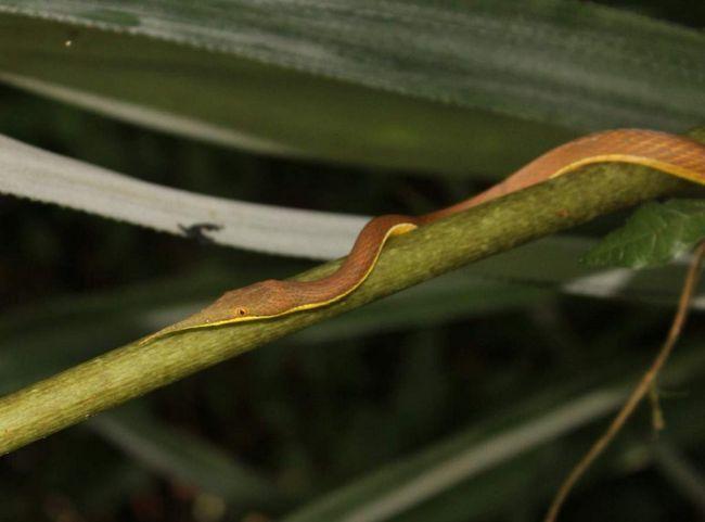 Листоносов змія не є агресивною рептилією і першою не нападає.