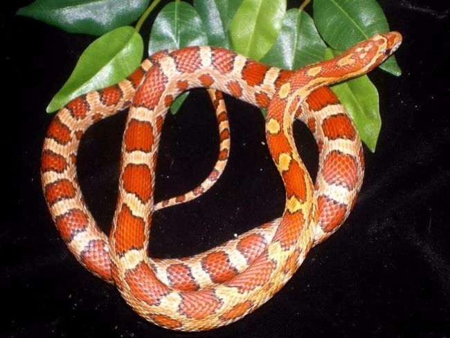 Ці змії відмінно уживаються в домашніх тераріумах і не конфліктують з людиною.