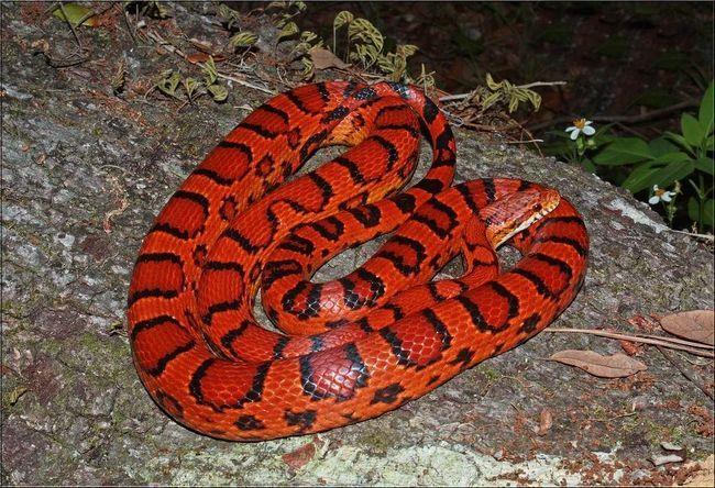 Щоб запобігти агресивна поведінка полоза на рух людської руки, слід з дитинства годувати змію предубітим кормом.