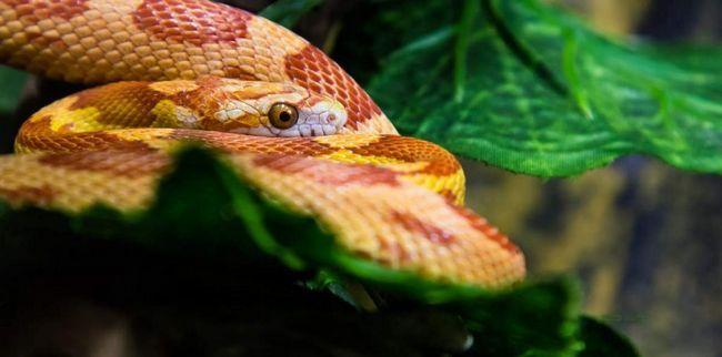 Так як ці змії населяють кукурудзяні поля, їх прозвали маїсовими.
