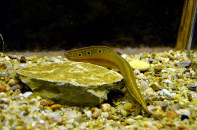 Акваріумна рибка макрогнатус глазчатий.