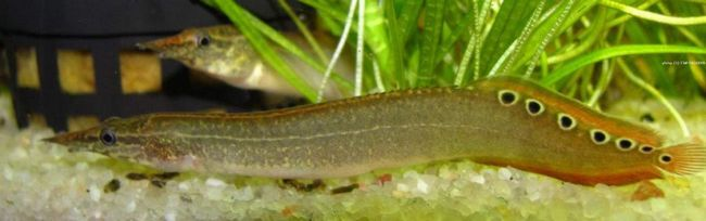 Макрогрнатус - представник лучеперих риб.