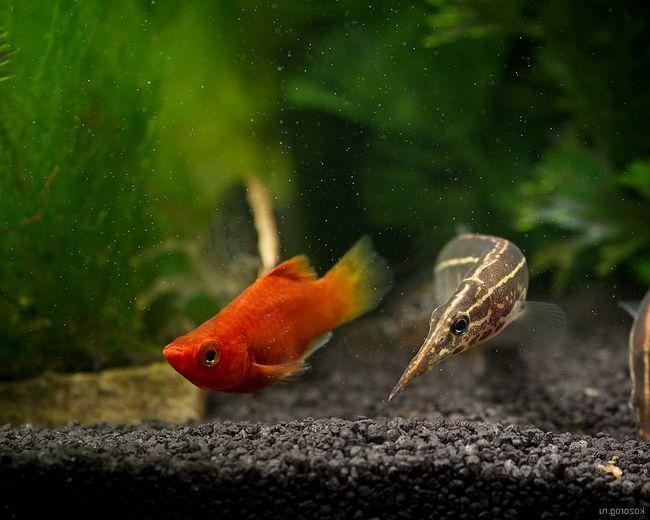 Перш ніж заводити макрогнатуса в своєму акваріумі, дізнайтеся - з якими рибками він буде уживатися найкраще.