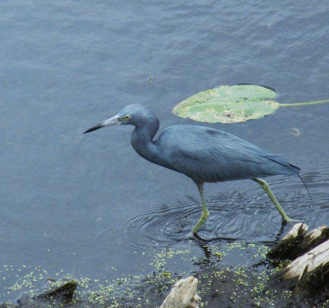 Потомство блакитний чаплі складається максимум з п`яти пташенят.
