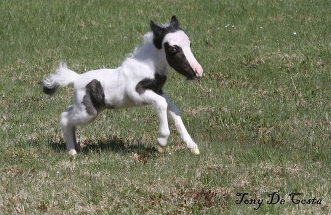 Маленька конячка Koda