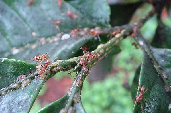 Мурахи Azteca instabilis і стада ложнощитовок Coccus viridis на кавовому дереві