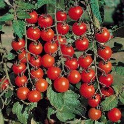 Маленькі помідори черрі сорти