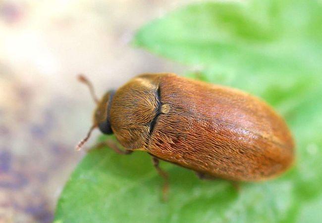 Малини жук (Byturus tomentosus).