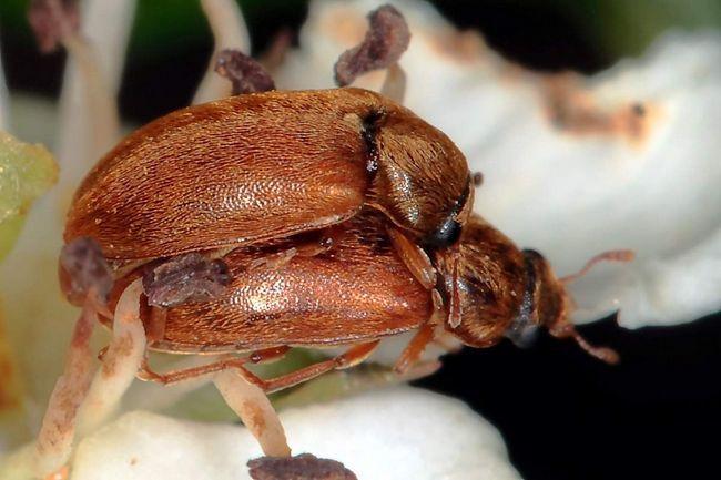 Парування малини жуків.
