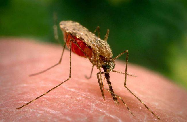 Малярійний комар п`є кров.