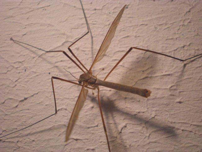 Самки малярійного комара живуть довше за самців.