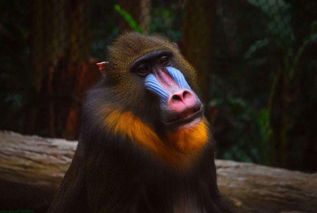 Мандрил - сіненосие мавпа