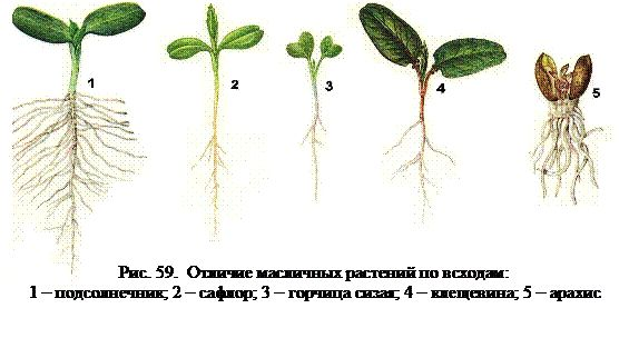 Відмінність олійних рослин по сходам