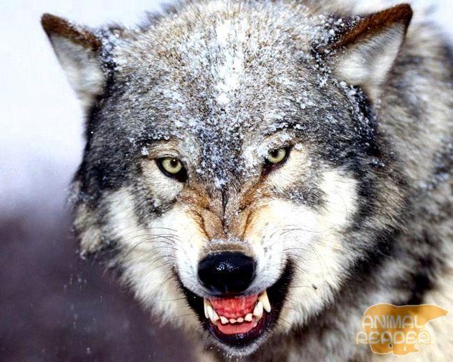 Досвідчений вовк фото