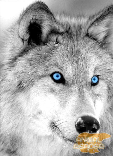 Арктичний вовк