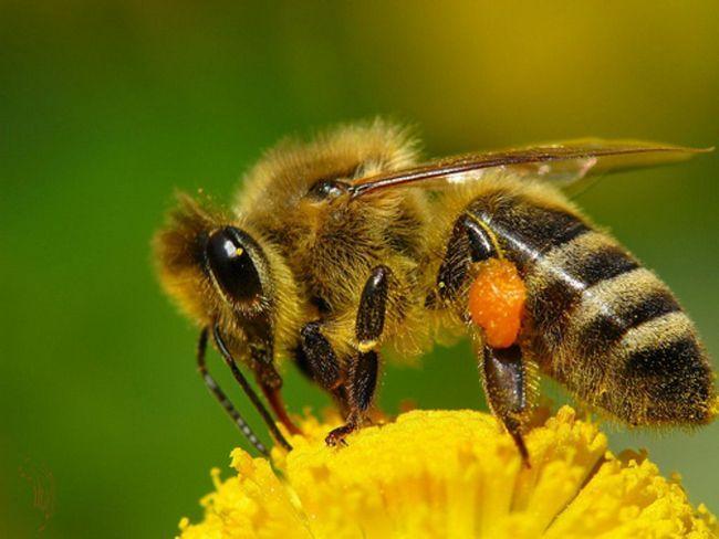Медоносних бджіл (лат. Apis mellifera)