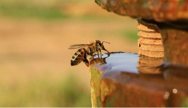 Медоносних бджіл п`є воду.