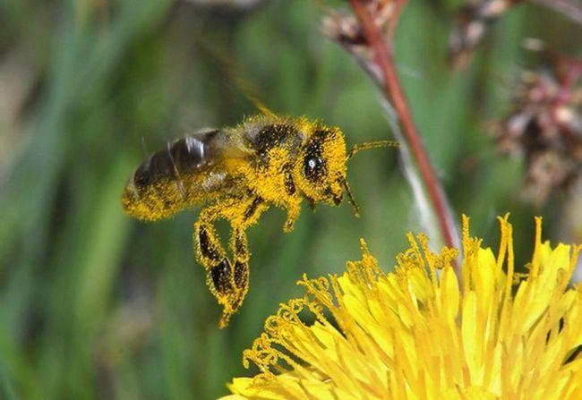 Бджоли збирають пилок для крейди і одночасно запилюють рослини.