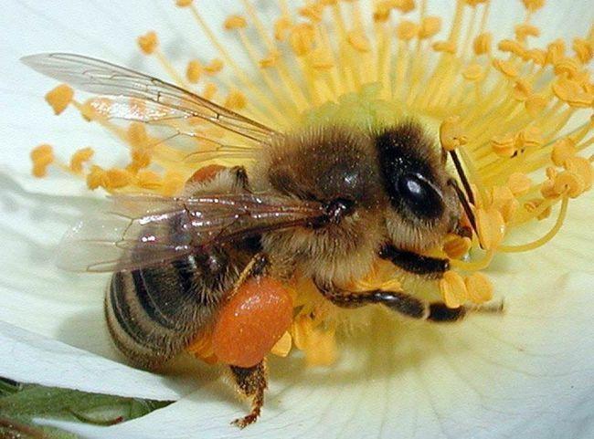 Медоносна бджола збирає пилок.