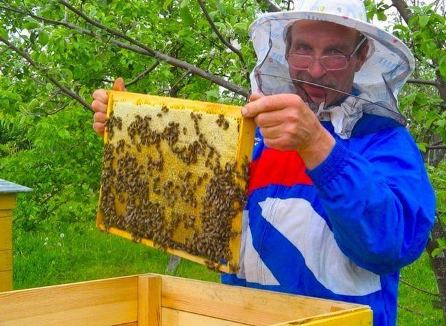 Мед - цінний продукт медоносних бджіл.