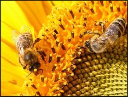 бджоли на квітах фото