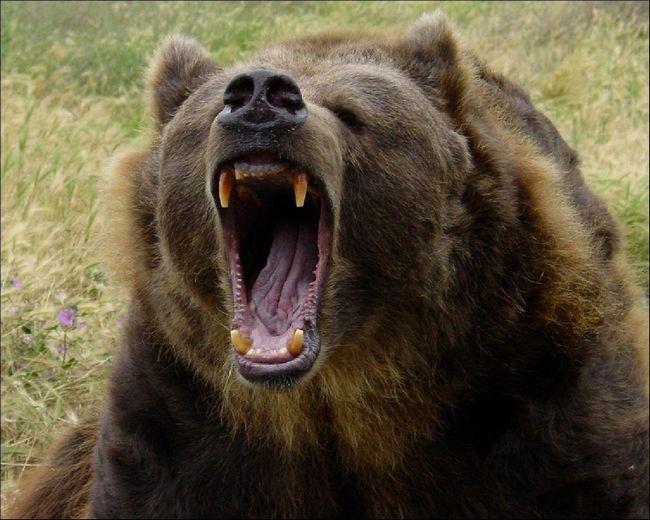 Грізлі - найбільший з бурих ведмедів