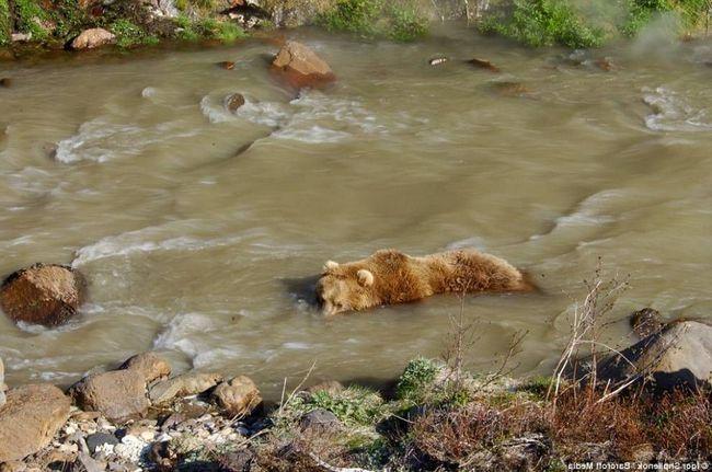 Грізлі - чудові плавці. Більш того, вони селяться поруч з річками і болотами, там де можна викупатися і половити рибку
