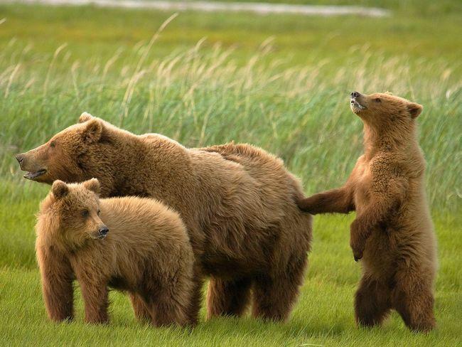 У ведмедиці з`являються на світ від 1 і до 3 ведмежат. Мама-грізлі - дуже турботлива і ласкава ... по відношенню до своїх мишуткам.