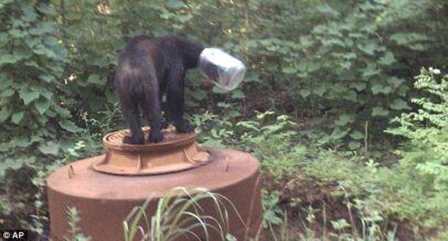 Ведмідь грізлі застряг головою в скляній банці