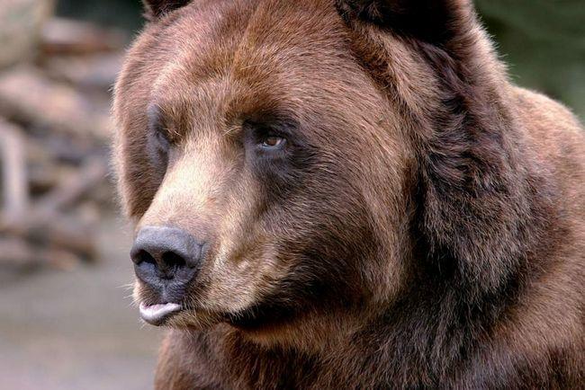 У Канаді з`явився ведмідь з синьою головою.