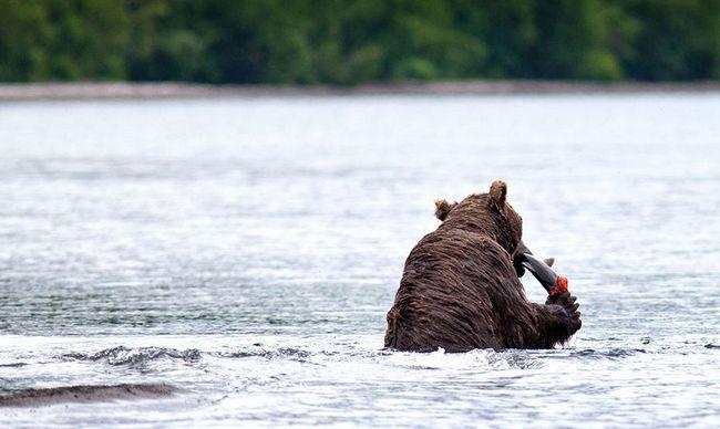 Ведмежа рибалка в Кроноцком заповіднику