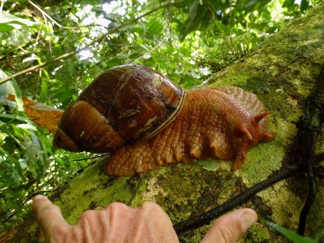 Мегалобулімуси (лат. Megalobulimus)