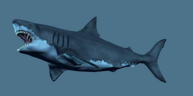 Акула мегалодон - попередник сучасних акул.