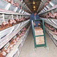 Механізація збирання, обробки та пакування яєць