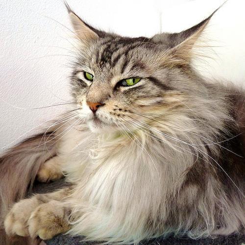 Мейн кун (maine coon) або мейнская єнотова кішка