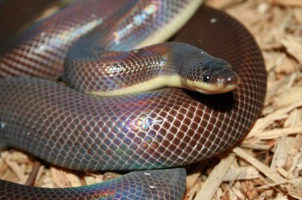 Мексиканський земляний пітон або Двокольорова змія (Loxocemus bicolor).