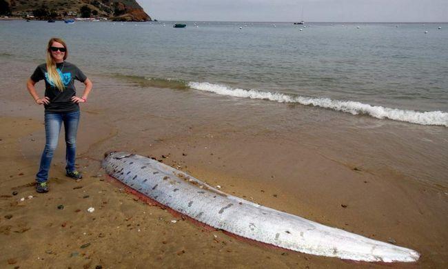 Гігантські ремнетели викинулися на берег.