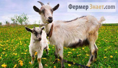 Секрети і нововведення в розведенні домашніх кіз