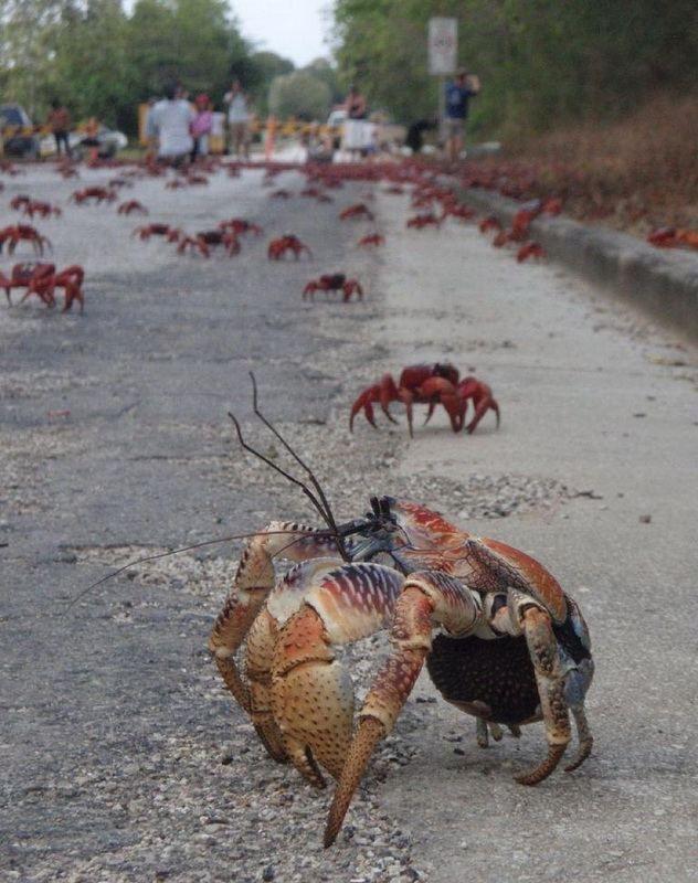 Міграція червоного земляного краба на острові Різдва