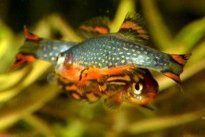 Мікрорасбора галактика - маленька акваріумна рибка
