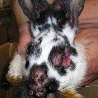 Міксоматозу кроликів