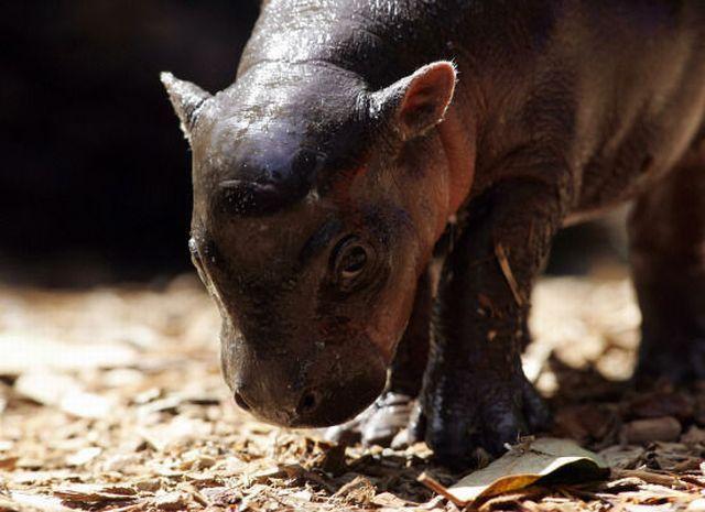 Милий малюк карликового бегемота
