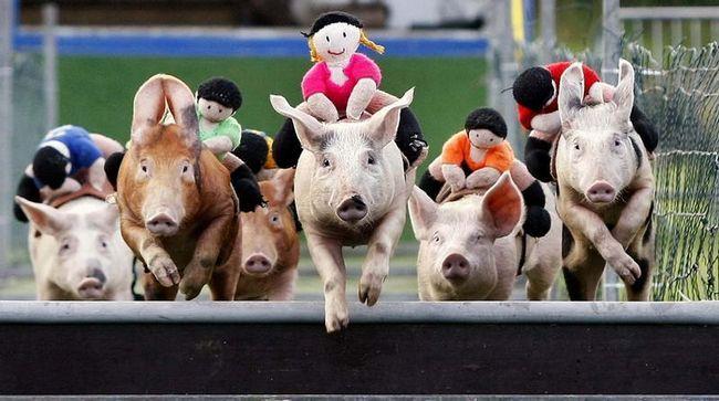 Тепер глядачі болееют не тільки за свою улюблену свинку а й за наїзника-ляльку