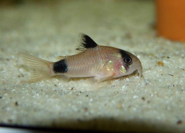 Невеликі рибки сімейства панцирні сомики.