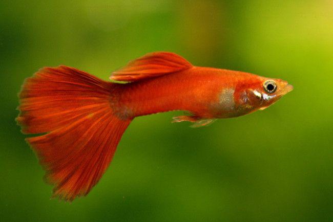 Нешкідливі рибки.