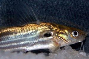 Містус смугастий - акваріумний сомик