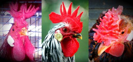 М`ясні та м`ясо-яєчні породи курей