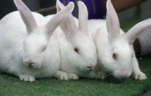 Кролики породи «Білий велетень» великих розмірів