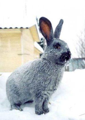 Шерсть кроликів красивого сріблястого кольору